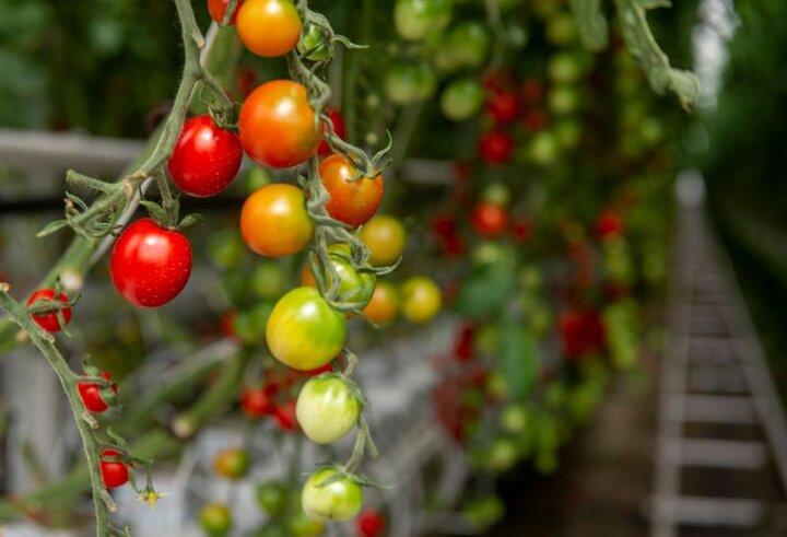 گام بلند کشاورزان قمی به سمت تولید محصولات سالم و ارگانیک