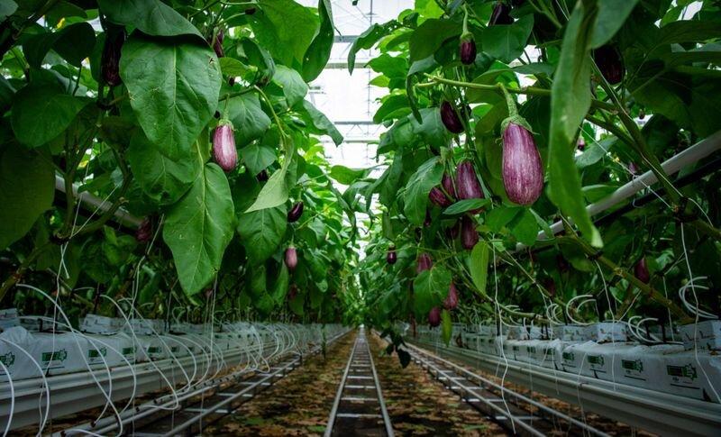 بهرهبرداری از ۱۹۶هکتار گلخانه در آذربایجانشرقی طی ۸ سال اخیر