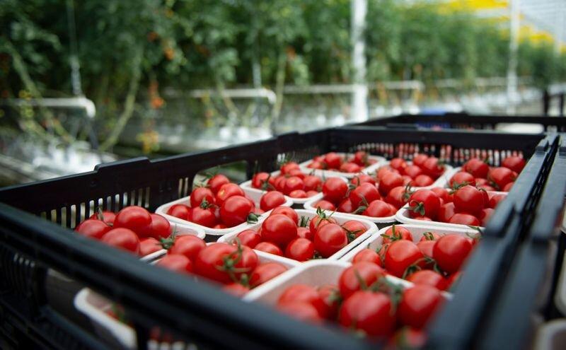 آغاز برداشت محصولات گلخانهای در سیستان و بلوچستان / تولید سالیانه بیش از ۴۷ هزار تن محصول