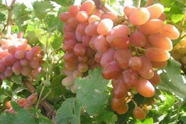 گردش مالی تولید انگور در زنجان ۷۵۰ هزار میلیارد تومان است
