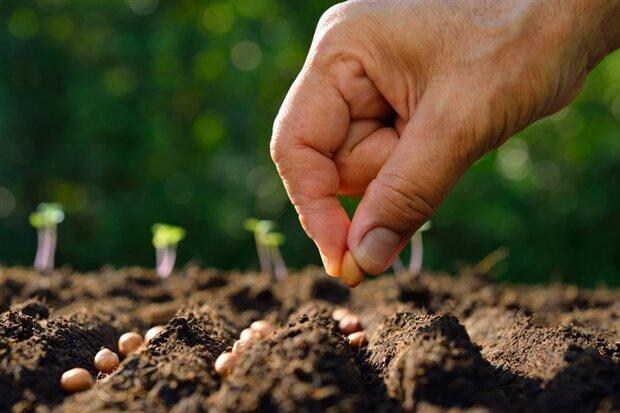 ۱۶ هزار تن بذر اصلاح شده بین کشاورزان ایلامی توزیع شد