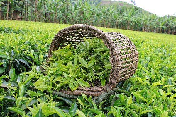 سهم صنعت چای داخلی از گردش مالی قابل قبول نیست