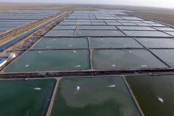 خاموشی برق و کمبود آب مهمترین معضلات تولیدکنندگان میگو