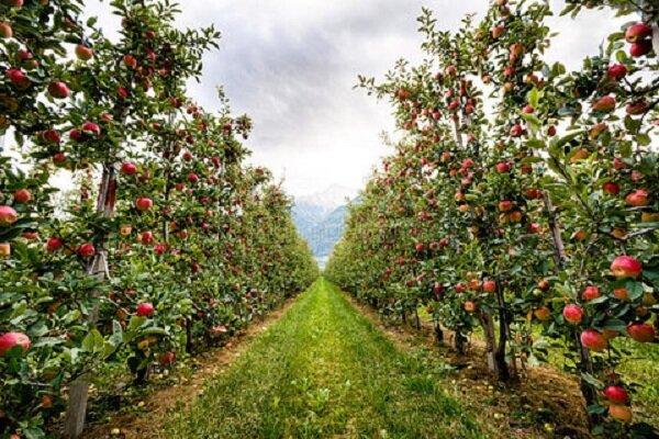 افزایش ۱۰ درصدی تولید محصولات باغی در کرمانشاه