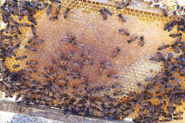 صنایع تبدیلی حلقه مفقوده صنعت زنبورداری چهارمحال و بختیاری  ارزش افزوده ای که بر باد رفت