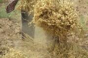 ۲۵۰۰ هکتار از اراضی کشاورزی لرستان زیر کشت نخود رفت