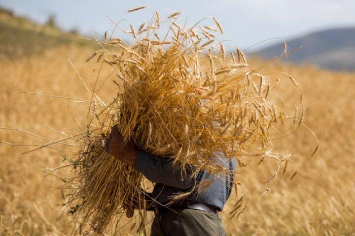 ۸۰ هزار تن گندم در استان بوشهر برداشت میشود