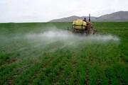 سطح مبارزه با آفت سن مادر در مزارع کردستان ۱۷۰ درصد افزایش یافت