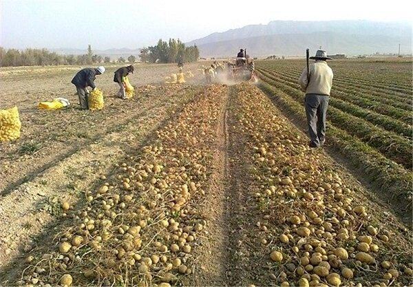 ۵۰۰ هزار تن سیبزمینی انباری نتیجه خلأ صنایع تبدیلی در همدان