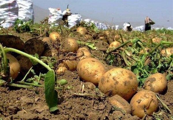 ارزان ترین سیب زمینی دنیا به ایران اختصاص یافت| هر کیلو ۱۵ سنت