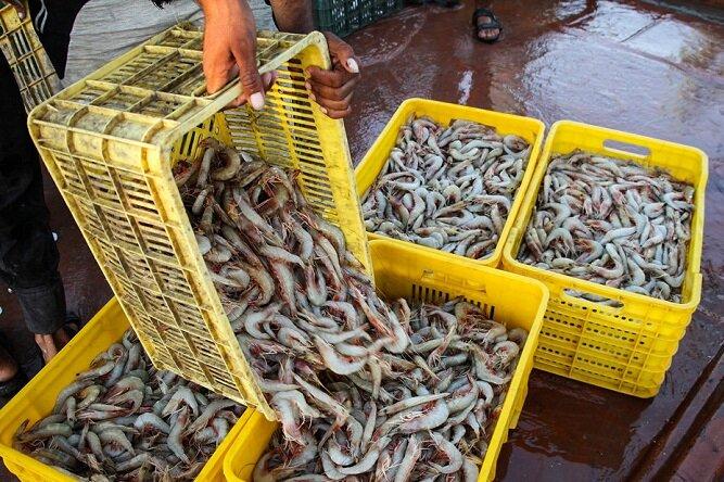 افزایش ۴۱ درصدی صید میگوی دریایی در سال جاری