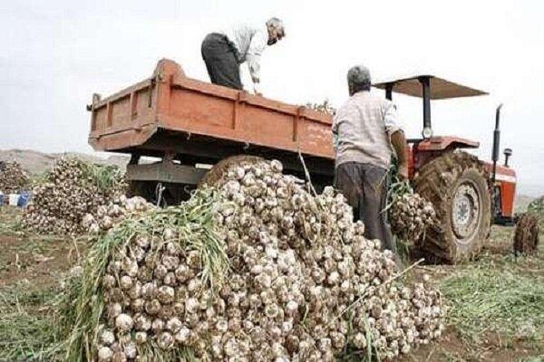 کشت سیر همدان در پاکستان و از دست دادن بازارهای صادراتی