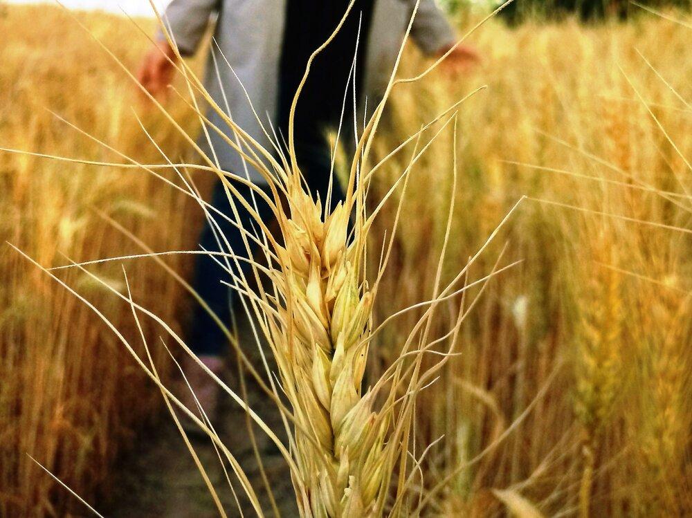 روسیه در اندیشه تسلط بر بازار غلات کشورهای در حال توسعه آسیا