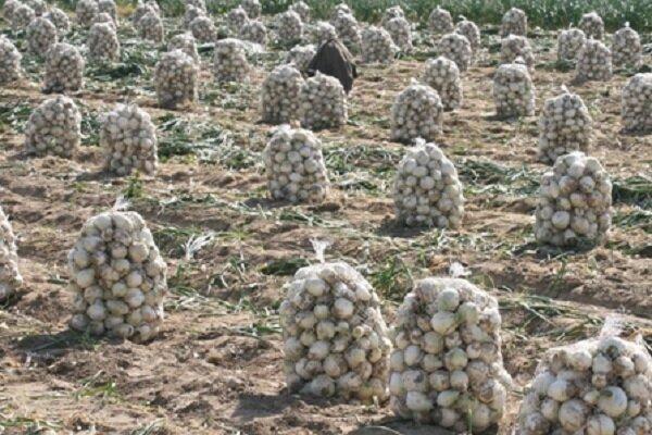 خرید تضمینی ۲۳ هزار تن پیاز مازاد از کشاورزان