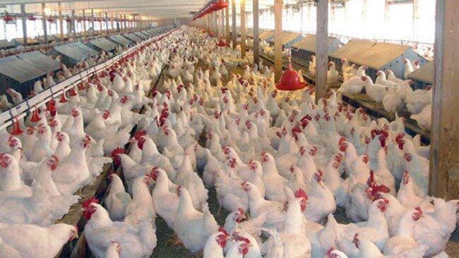 افزایش ۷۰ درصدی تورم تولید محصولات مرغداری