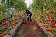 وثیقههای سنگین بانکی مانع دریافت تسهیلات/ گلخانهداران گلایه دارند