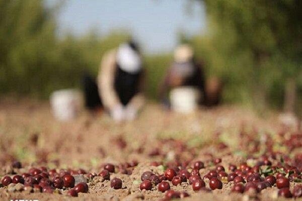 برداشت محصولات پاییزه از مزارع کشاورزی همدان