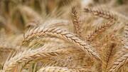 پیشبینی تولید ۵۸۰ هزار تن گندم در اردبیل
