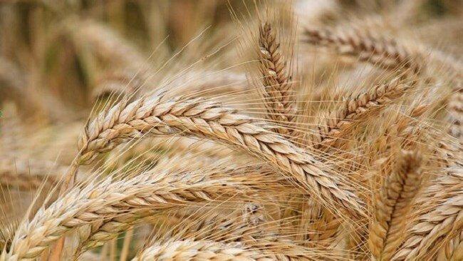 تولید ۴۰۰ هزار تُن گندم در استان مرکزی/ ۳۴۴ هزار تُن خرید تضمینی شد