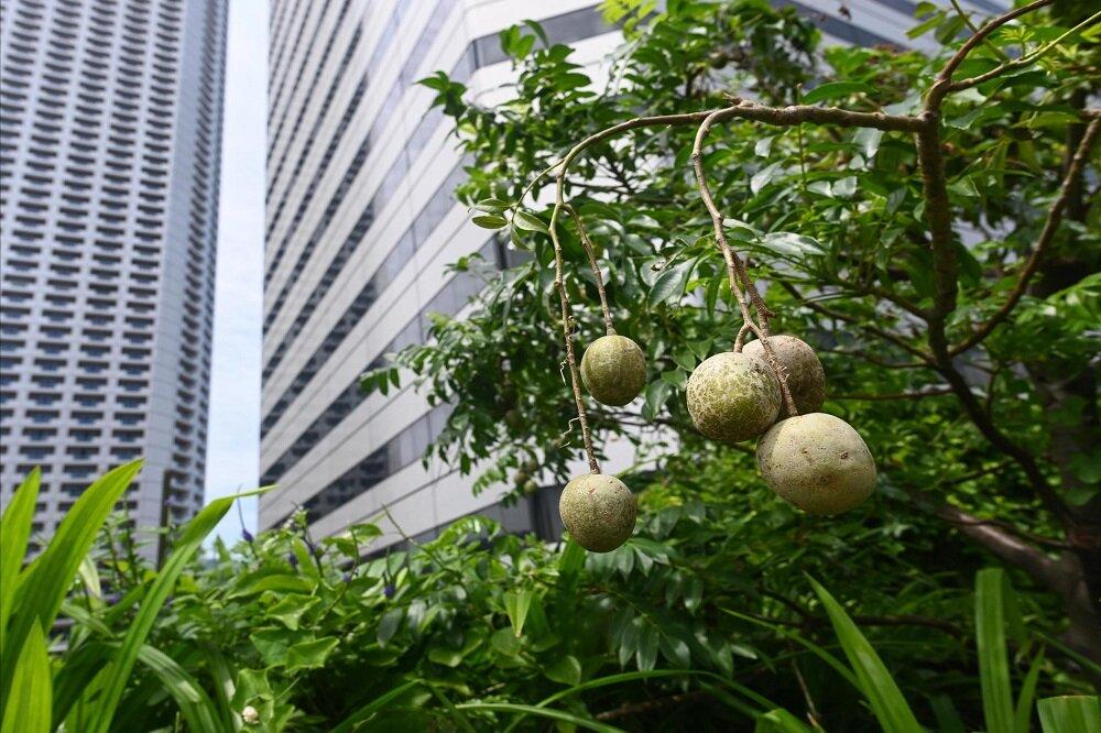رواج کشاورزی در پشت بام در سنگاپور