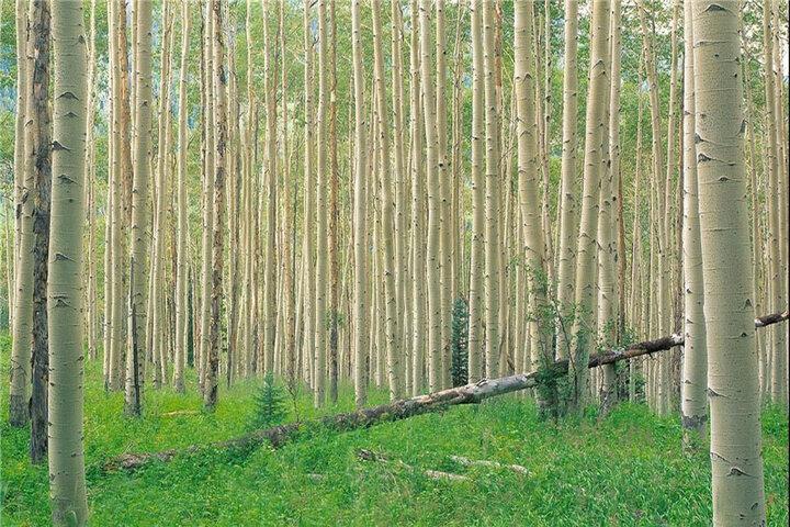 اجرای ۲۰ هزار هکتار زراعت چوب و جنگل کاری در استان ایلام