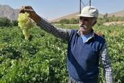 انگور روی دست باغداران چهارمحالی ماند؛ قیمت پایین و استقبال کم