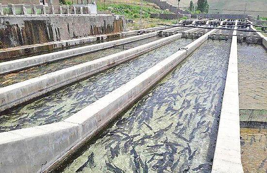 تولید ماهی در کرمانشاه یک هزار و ۲۰۰ تن افزایش یافته است