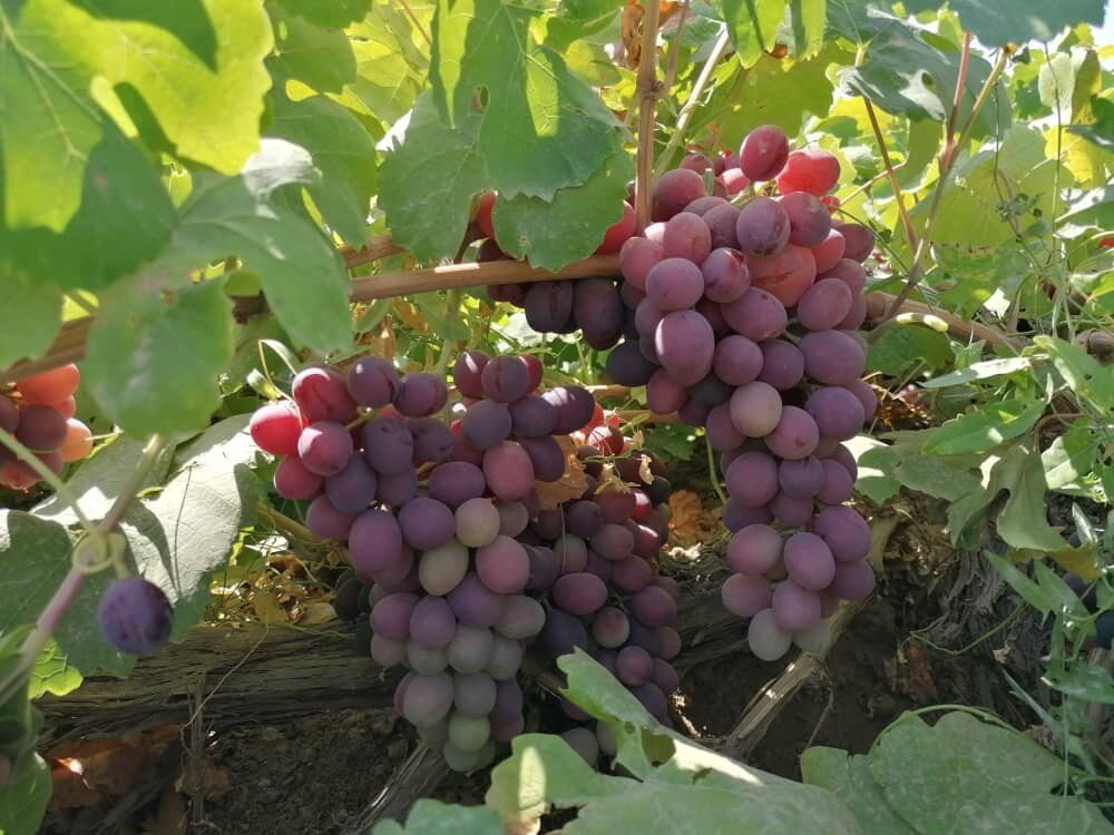 ۲ رقم جدید انگور تولید شده در مرکز تحقیقات کشاورزی قزوین رونمایی شد
