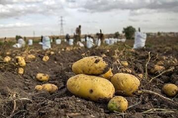 سیبزمینی همدان ناتوان برای عرضاندام| ارزآوری محصول؛ فقط با همت سرمایهگذاران