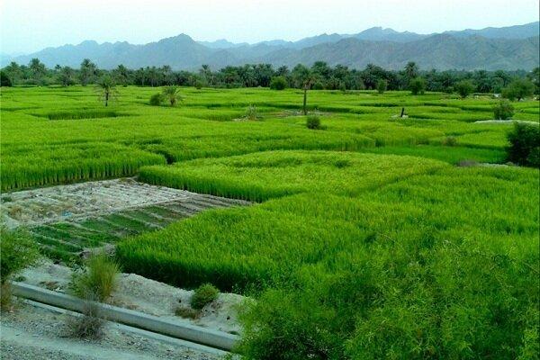رنج کشت برنج زیر سایه کم آبی در شهرستان طارم