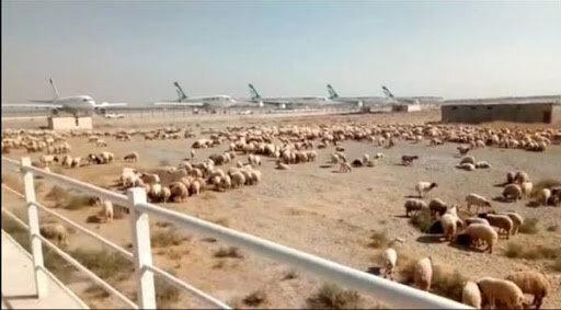 اطلاعیه سازمان دامپزشکی درباره محموله گوسفندان در فرودگاه امام(ره)