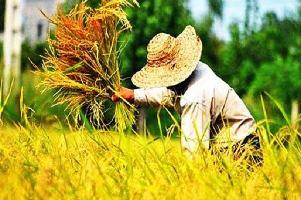 رشد ۳ برابری برنجکاری در لرستان؛ وقتی کشاورزان محدودیتها را دور میزنند