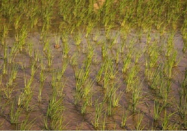 خشکه کاری برنج در مازندران کلید خورد