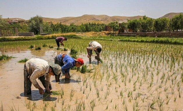 سطح زیر کشت برنج در خراسان شمالی کاهش یافت
