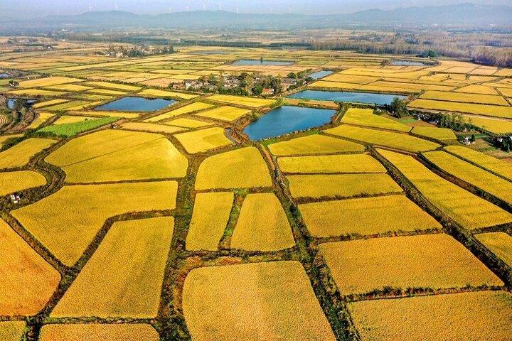 فصل برداشت برنج در چوژو 1