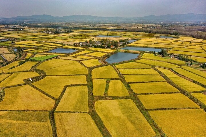 فصل برداشت برنج در چوژو 2