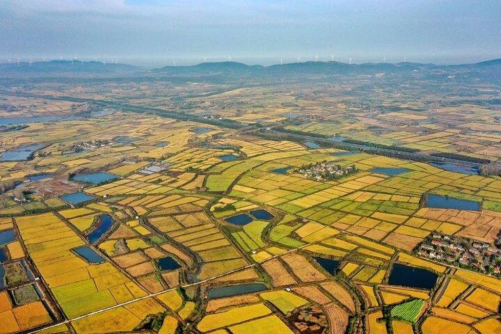 فصل برداشت برنج در چوژو 3