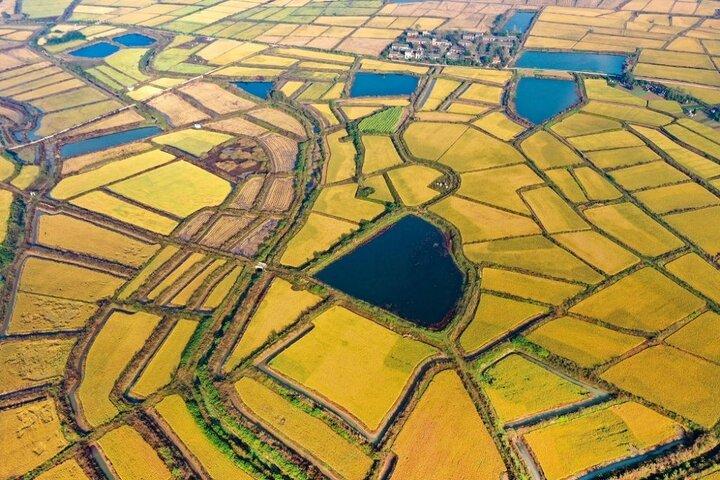 فصل برداشت برنج در چوژو 4