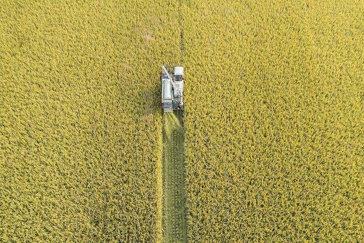 فصل برداشت برنج در چوژو 6