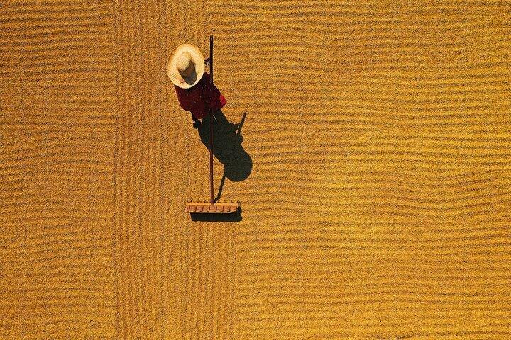 فصل برداشت برنج در چوژو 7