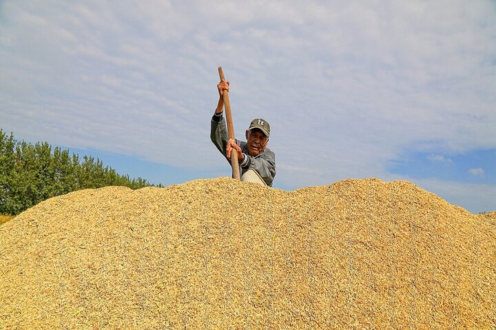فصل برداشت برنج در چوژو 8