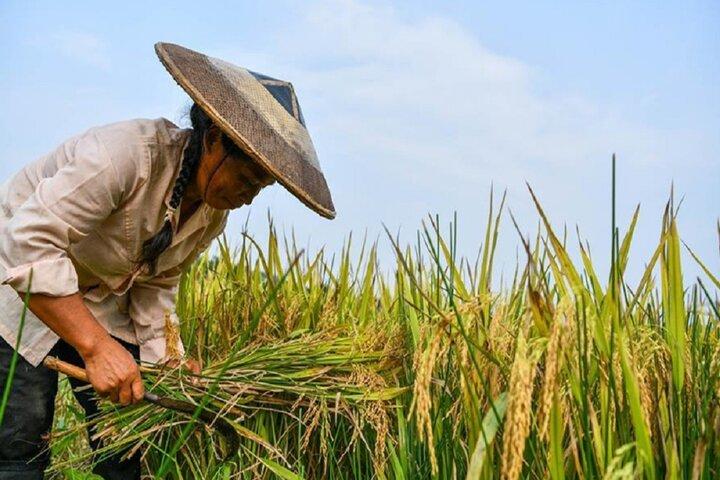 فصل برداشت برنج در چوژو 9