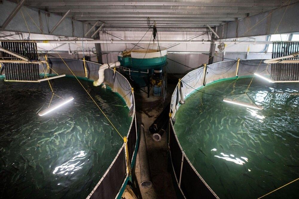 سطح زیر کشت مزارع پرورش ماهی «سی باس» چوئبده ۲۰ هکتار است