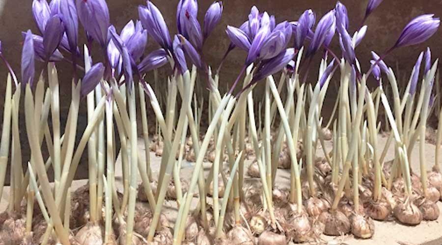 ورود پیازهای زعفران «گواهی محدود» به بازار