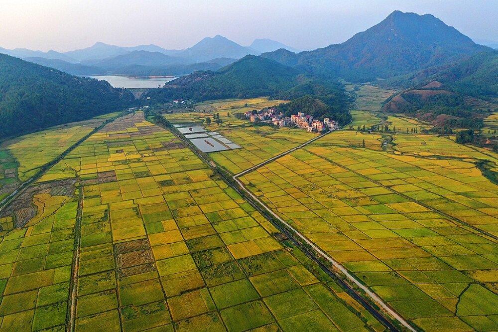برداشت برنج در چین