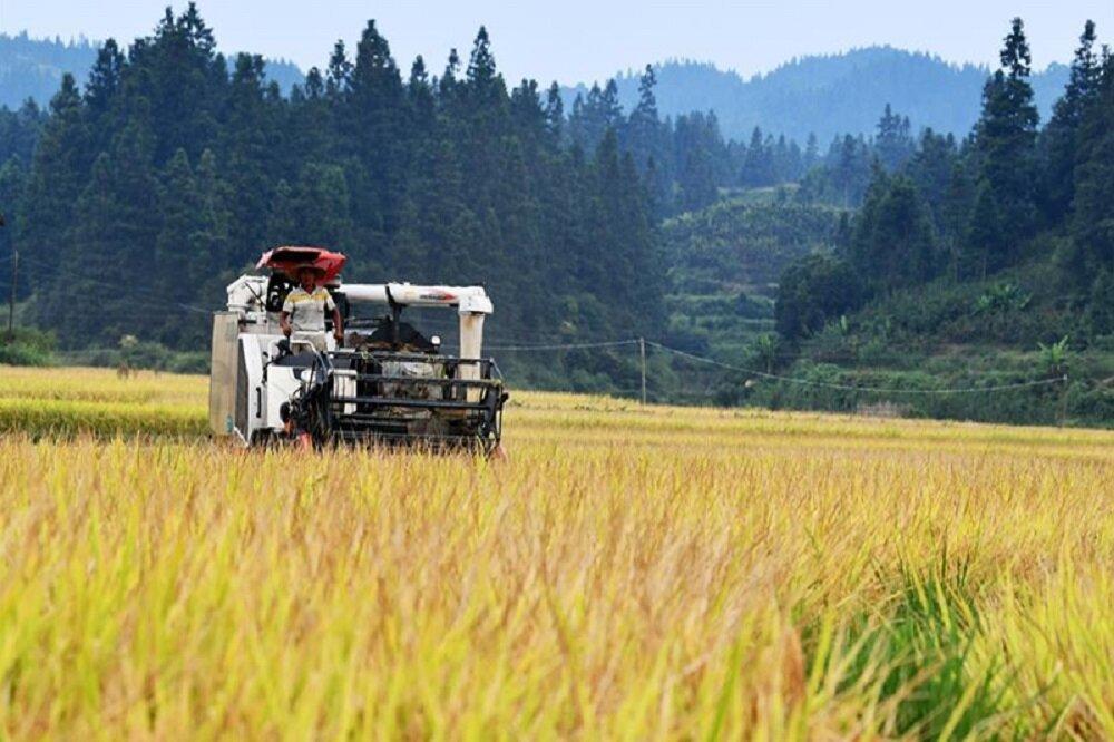 برداشت مکانیزه برنج در مازندران