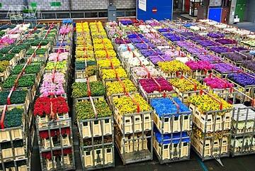 چگونه اقتصاد هلند «گل» کاشت/ ایران ۵۰ گروه باغبانی دارد هلند یک گروه!