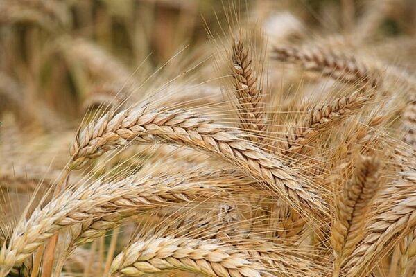 گرانی خوراک دام باعث افزایش ۱۰ درصدی کشت جو در یزد شد