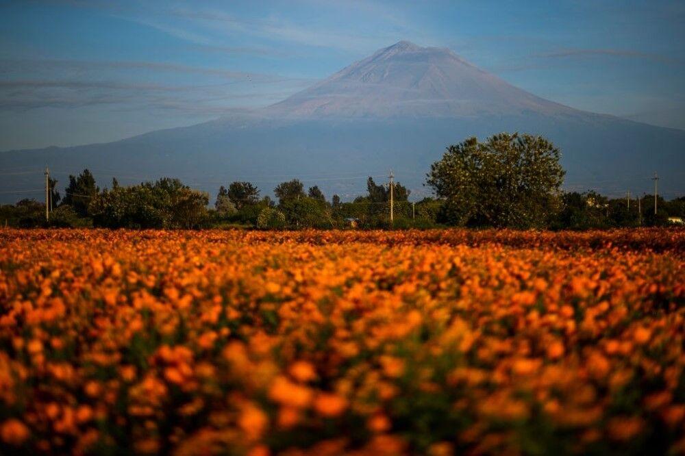 برداشت جعفری گل درشت در مکزیک