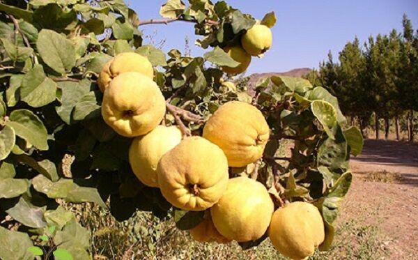 تولید ۱۶ رقم از انواع میوه «به» در شهر گیوی/ استفاده از «به» در صنایع غذایی